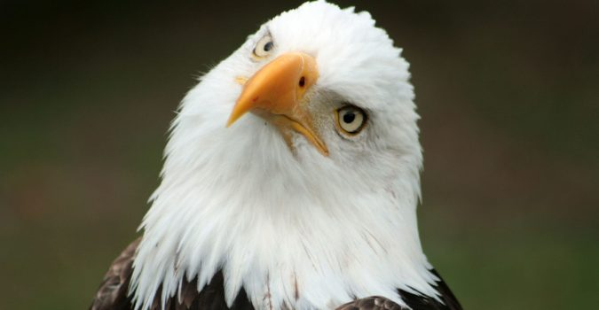 Project Manager bald eagle